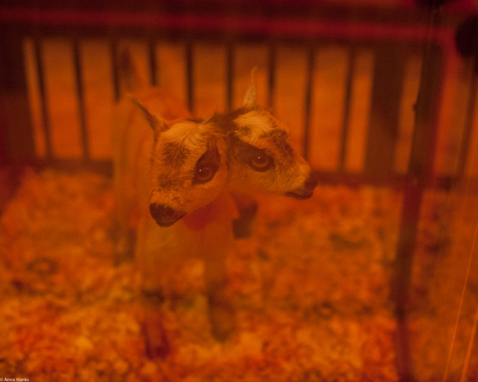 Freaks: Two Headed Goat