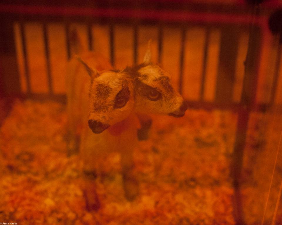 Freaks: Two Headed Goat