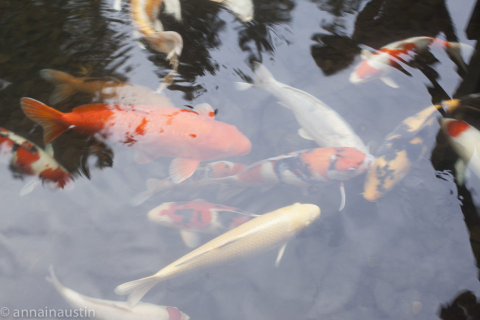 fish, Portland Japanese Garden in Fall,  Portland, Oregon 2014-0114
