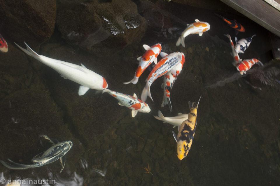 fish, Portland Japanese Garden in Fall,  Portland, Oregon 2014-0119