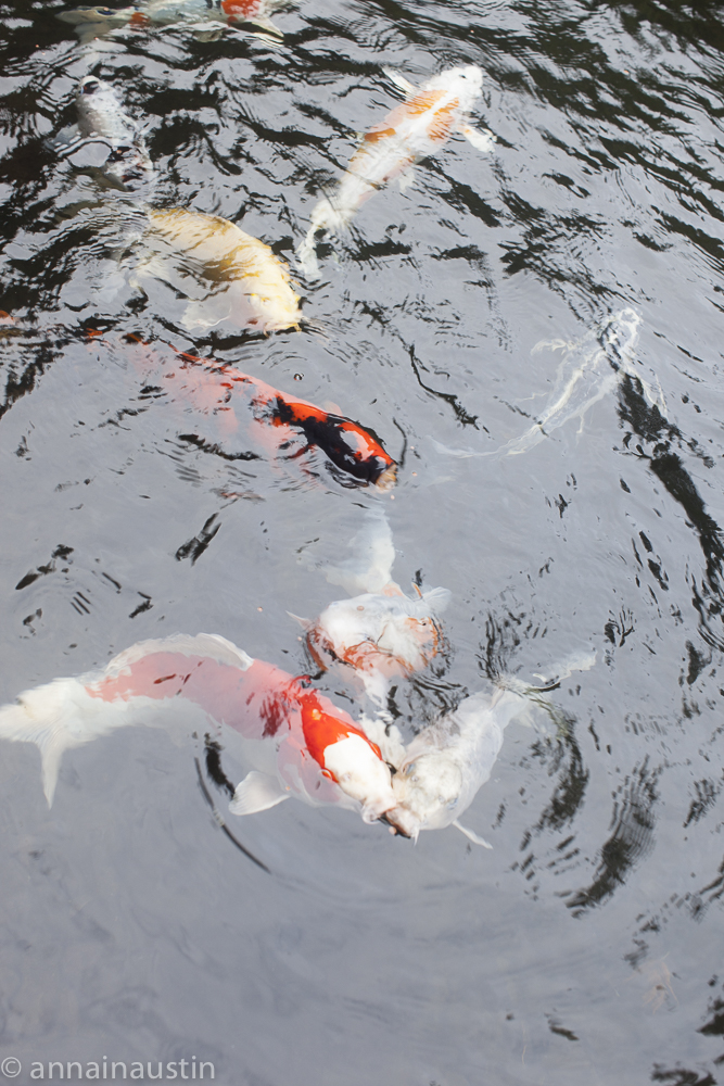 fish, Portland Japanese Garden in Fall,  Portland, Oregon 2014-0142