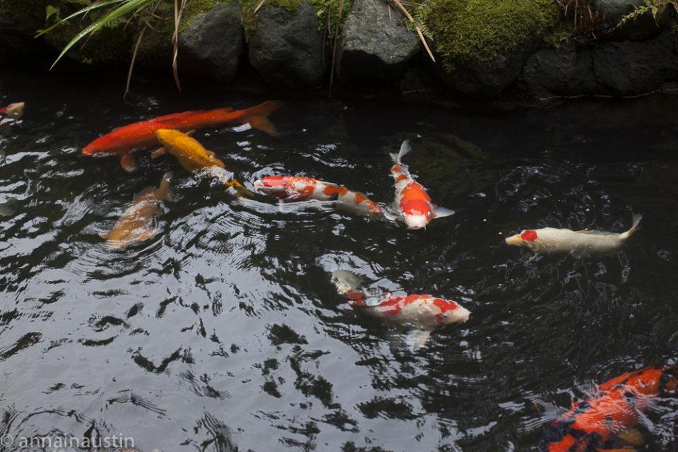 fish, Portland Japanese Garden in Fall,  Portland, Oregon 2014-0147