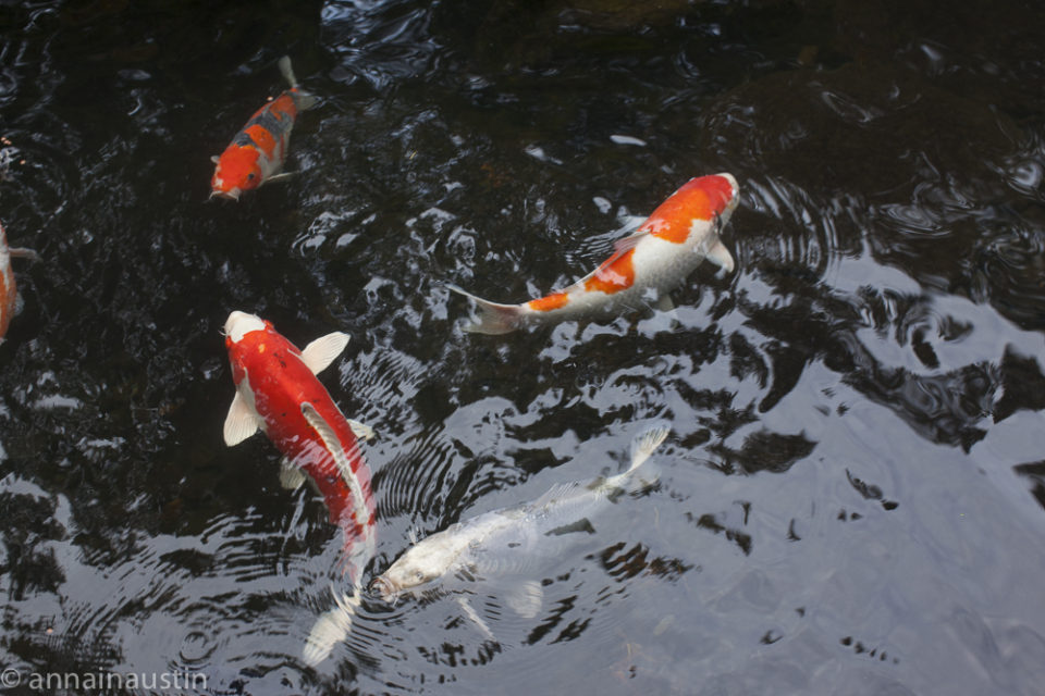 fish, Portland Japanese Garden in Fall,  Portland, Oregon 2014-0155